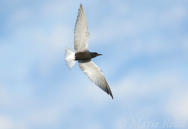 Black Tern (Chlidonias niger), in flight, Perch River Wildlife Management Area, New York, USA