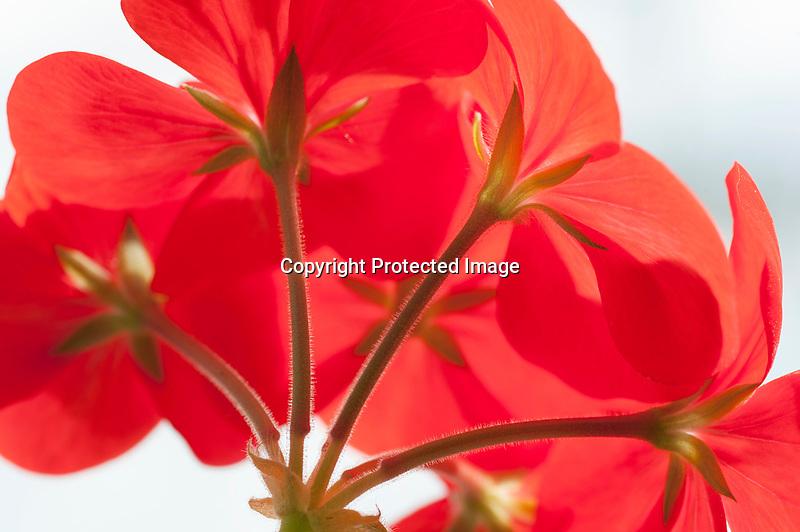 Geranium Blossom