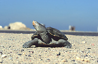 Diamondback Terrapin; Malaclemys terrapin; female traveling to nesting site; NJ, Delaware Bay