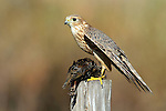 Merlin with Starling