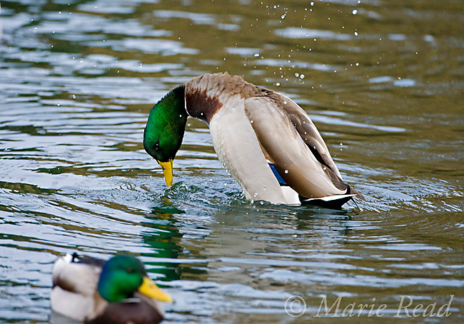 "Mallard (Anas platyrhynchos) male performing courtship display ""Grunt-Whistle"", California, USA"