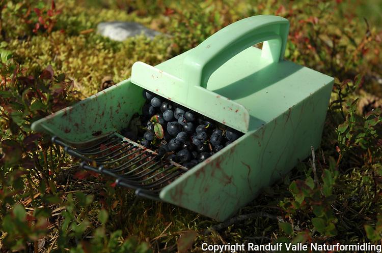 Blåbær i blåbærplukker ---- Blueberries