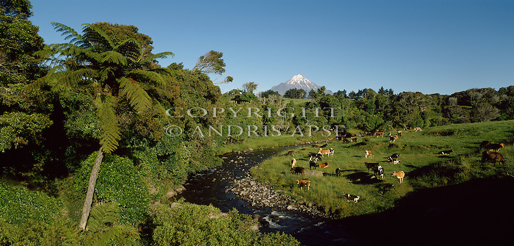 Dairy cows grazing near native forest and Mount Taranaki. Taranaki Region New Zealand.