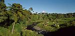 Dairy cows grazing near native forest and Mount Taranaki. Taranaki Region New Zealand.