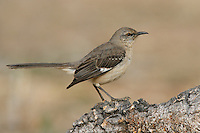 Northern Mockingbird - Mimus Polyglottos - 1st winter