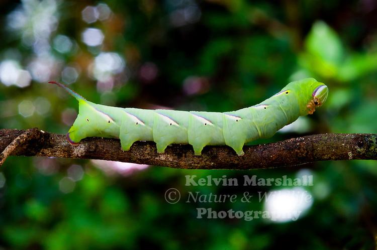 An unknown Caterpillar species. Ankarana reserve, Northern Madagascar.