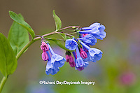 63899-04903 Virginia Bluebells (Mertensia virginica) Marion Co. IL