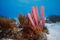 Stove-pipe Sponge (Aplysina archeri) and Sea Rods