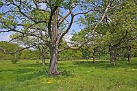 Parkähnlicher Wald mit Wiese, Waldwiese, lichter Wald, Laubwald, Eichenwald