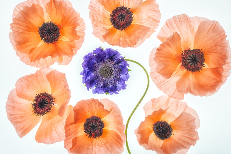Close up of poppy flowers
