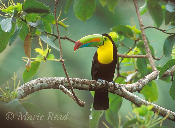 Keel-billed Toucan (Ramphastos sulfuratus), adult perched in forest, Gamboa, Panama.<br /> Slide # B95-101