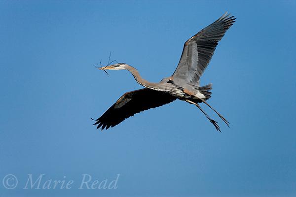 Great Blue Heron (Ardea herodias) carrying nest material in flight, Florida USA