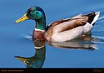 Mallard Male, Drake, Sepulveda Wildlife Refuge, Southern California