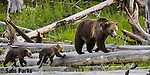 Grizzly bear sow and young cubs on logs. Yellowstone National Park, Wyoming.