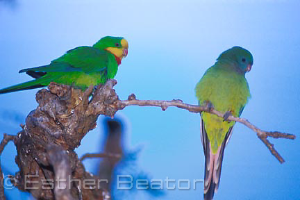 Superb Parrots (Polytelis swainsonii) pair, southeastern Australia