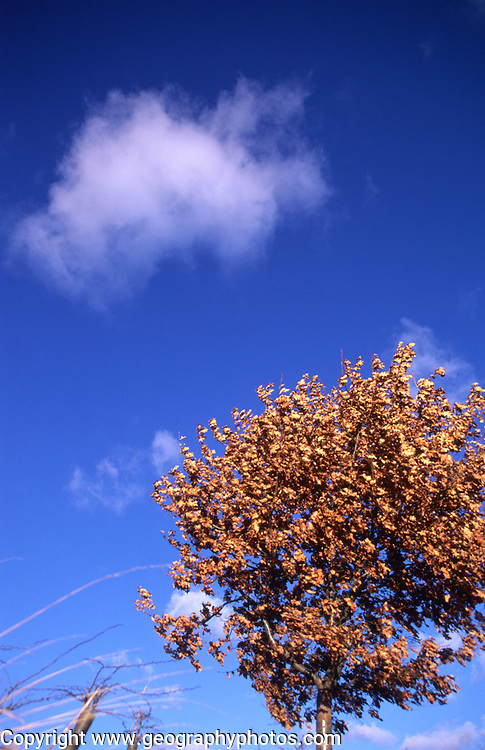 AWY792 Small beech tree and fluffy cloud in blue sky looking up from below