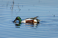 Northern Shoveler (Anas clypeata) drake.  California.  Late winter/early spring.