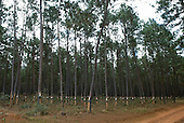 Minas Gerais, Brazil. Plantation of pine trees for harvesting the resin to perfume household products.