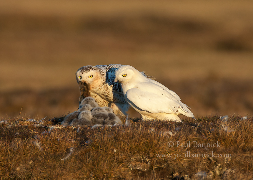 A male Snowy Owl continues staring at his young after delivering a lemming to his mate.  (Alaska)