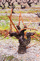 Chateau de Nouvelles. Fitou. Languedoc. Vines trained in Gobelet pruning. Old, gnarled and twisting vine. Terroir soil. The vineyard. France. Europe.