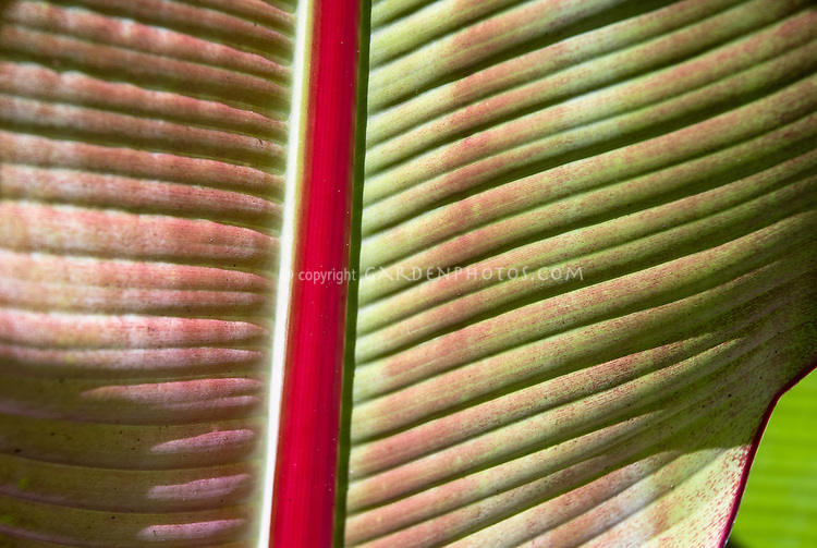 Ensete ventricosa 'Maurelli' closeup of red central stem and leaf