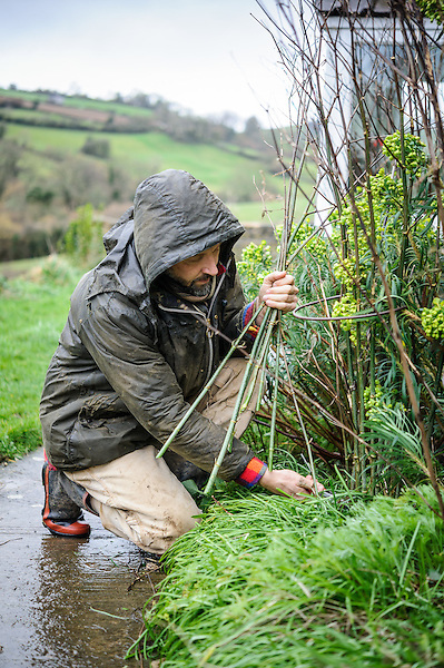 Dan clearing up and cutting back Fennel woody stems as low as he can