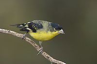 Lesser Goldfinch, Carduelis psaltria, male green-backed, Paradise, Chiricahua Mountains, Arizona, USA, August 2005