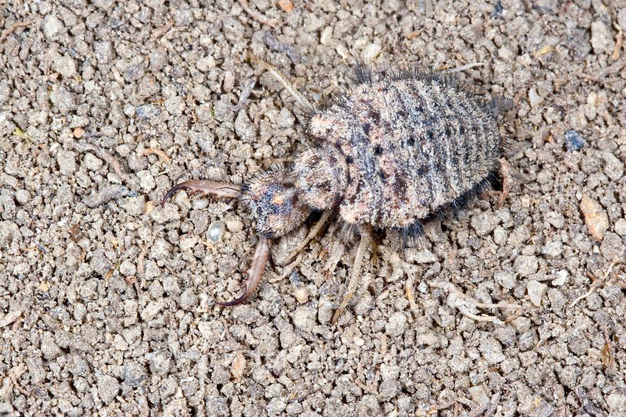 Gewöhnliche Ameisenjungfer, Ameisenlöwe, Ameisen-Löwe, Myrmeleon formicarius, Antlion, antlions