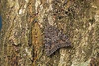 Großes Eichenkarmin, Grosses Eichenkarmin, Großer Eichenkarmin, Catocala sponsa, dark crimson underwing, la Fiancée, Eulenfalter, Noctuidae, noctuid moths, noctuid moth