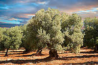 Ancient Cerignola olive trees of Ostuni, Puglia, South Italy.