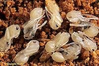 AN13-002a  Ant - naked pupae (no cocoons) in nest