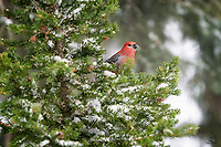 Male Pine Grosbeak (Pinicola enucleator) pauses from his feeding to peek out at us.
