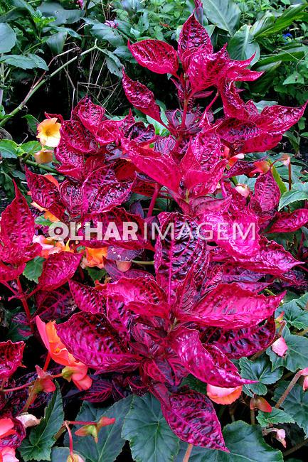 Flores. Iresine ( Iresine herbstii) UK. Foto de Manuel Lourenço.