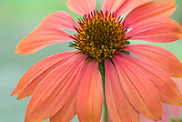 Echinacea Twilight, purple coneflower makes great cut flower