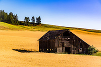 Nestled in an undulating hillside wheatfield in the Palouse, this salt box barn looks comfortable but in need of repairs. Under a cloudless sky the evening light provides a warm glow.