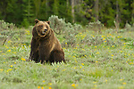 Grizzly 399 sit in a green meadow in Grand Teton National Park, Wyoming.
