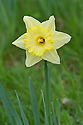 Narcissus 'Best Seller', early April.