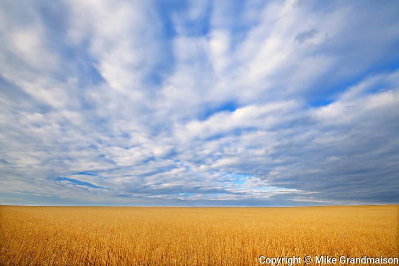 Wheat crop and clouds<br />Grande Prairie<br />Alberta<br />Canada