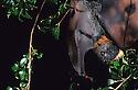 Grey-headed Flying Fox, female(Pteropus poliocephalus) Sydney, NSW.