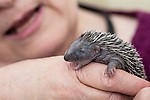 18/06/2013 Baby Hedgehogs