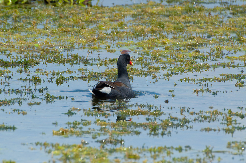 Common Moorhen (Gallinula chloropus), Blue Cypress Lake, Vero Beach, Florida, US
