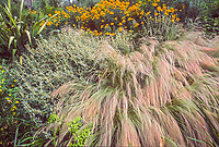 Mexican feather grass, Stipa tenuissima on hillside; Roger Raiche Berkeley Maybeck Cottage garden