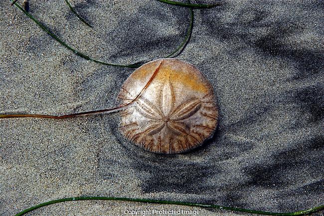 Sand Dollar, San Diego, California