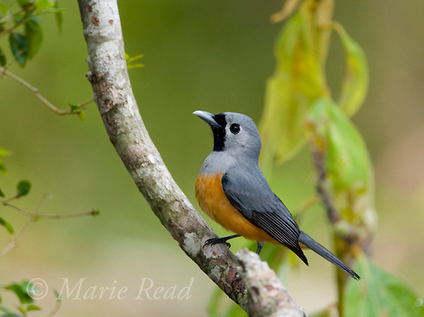 Black-faced Monarch (Monarcha melanopsis), Lake Eacham National Park, Queensland, Australia