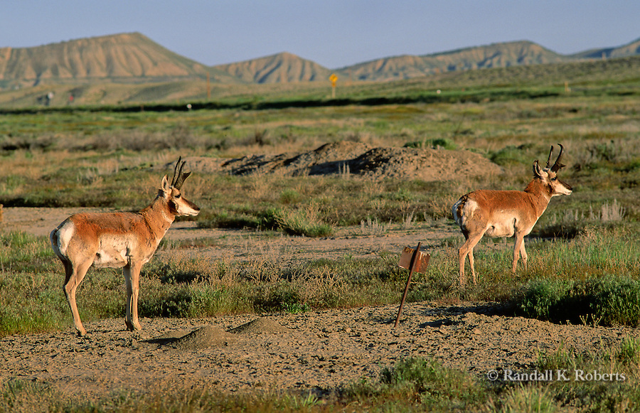 Pronghorn antelope (Antilocapra americana) move across the desert terrain near Rangely, Colorado.