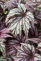 Begonia 'Benitochiba' ornamental foliage leaves silvery and pink with veins