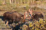 Two bull moose sparring during the rut. Roosevelt National Forest, Colorado.