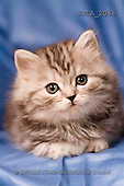 Carl, ANIMALS, photos, grey kitten, blue fond(SWLA2046,#A#) Katzen, gatos
