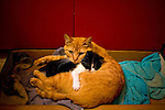 Cats...Orange tabby and tuxedo kitten in front of red cabinets.  Kittens being bathed.  Cat bath.