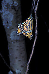 Monarch butterflies Danaus plexippus mating